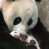  Cute Baby Panda