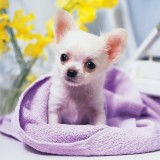  Cute Chihuahua Puppy