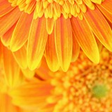  Big Yellow Flower Background