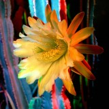  Cactus Flower Picture