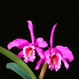  Cattleya Maxima Orchid