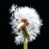  Dandelion Flower