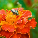  Japanese Beetle On A Marigold