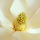  Magnolia Blossom