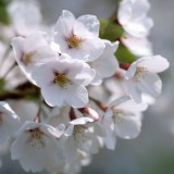  White Blossom